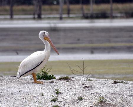 White Pelican Stock fotó