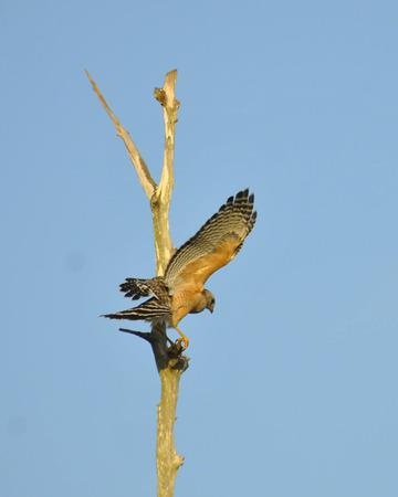 shouldered: Red Shoulder Hawk Landing Stock Photo