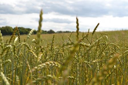 feld: Weizen