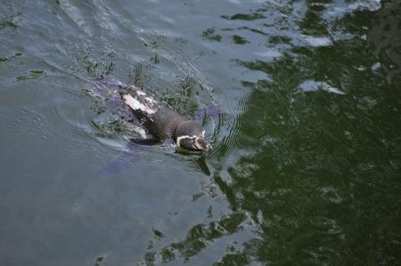 wasser: Pinguin im Wasser