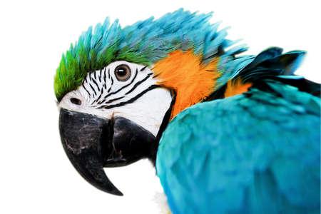 pappagallo: Blue Gold Macaw isolato su bianco backround Archivio Fotografico