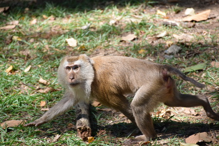 singly: monkey walking Stock Photo