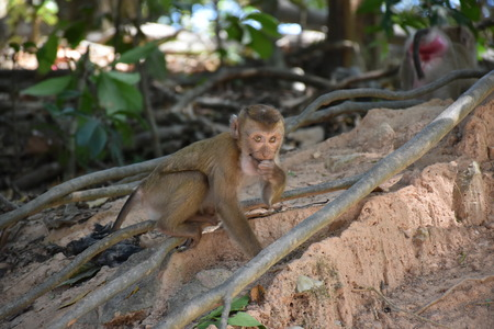 singly: monkey eating in the wild