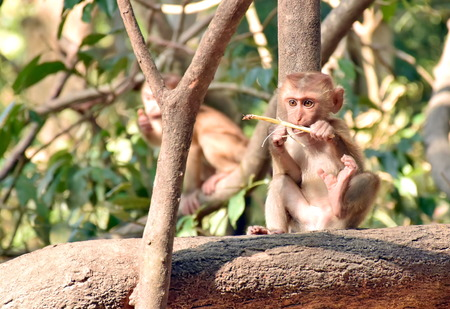singly: Baby monkey eating on a tree