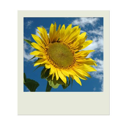 Picture with sunflower , sky and clouds photo
