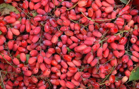 barberry: Autumn barberry healing fruits - background
