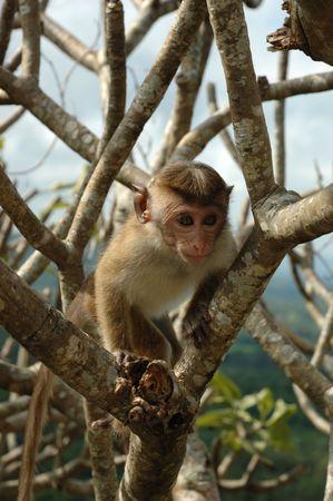 Monkey - Bonnet Macaque (macaca Radiata) in national park Minneriya photo