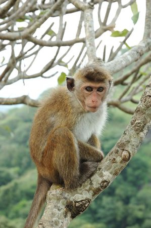 Bonnet Macaque (Macaca radiata) in tropical forests of South-eastern Asia