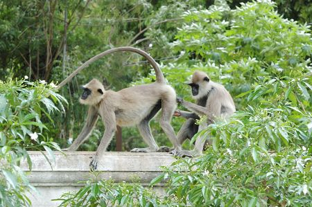 hanuman langur: Two Monkeys (Gray langur) or Hanuman langurs