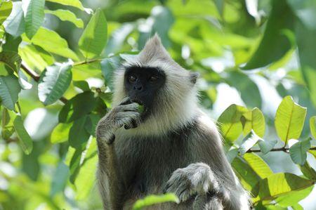 hanuman langur: Gray langur or Hanuman langur eating a fruit