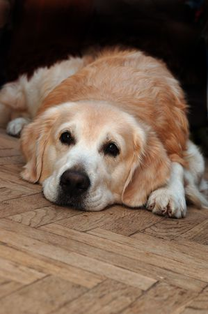 racy: Sad golden retriever lying on the floor Stock Photo