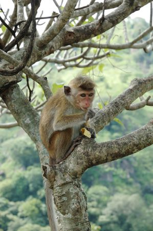 radiata: Monkey - Bonnet Macaque (Macaca radiata)