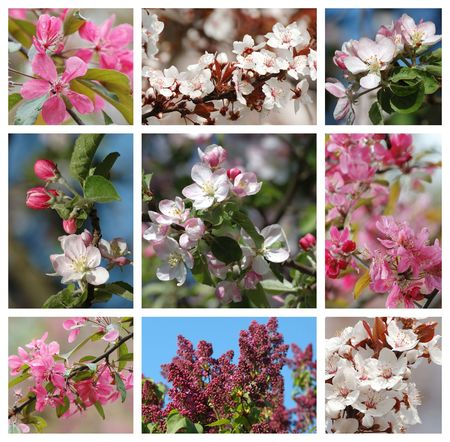 Spring season - nature collage with sakura,apricot,lilac and apple tree flowers photo