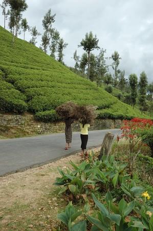 Nuwara Elliya,Sri Lanka, December 19,2009 -  women carrying brushwood for a living December 19,2009 in Nuwara Elliya.Nuwara Elliya is a town in the central highlands of Sri Lanka famous for its tea plantations