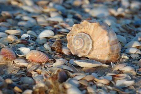 mollusc: Empty seashell of marine mollusc rapana venosa on the Black Sea coast