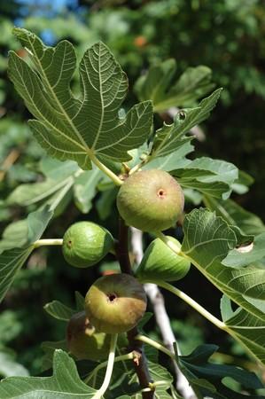 feigenbaum: Feigenbaum (Ficus Carica) Fr�chte