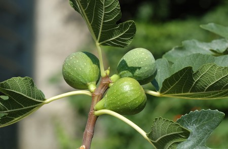 Fig tree (Ficus carica) fruits Stock Photo - 7747288