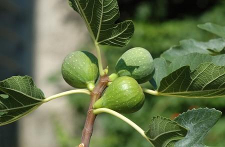 ficus: Fig tree (Ficus carica) fruits