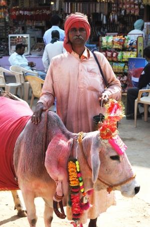 india cow: Pushkar,Rajasthan,India,November 22,2012 - Portrait of old rajasthani Sadhu,wandering hindu monk with holy cow who going to annual camel mela holiday in Pushkar