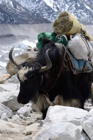 cud: Domestic nepalese yak with swastika symbol,Himalaya mountains,Everest region