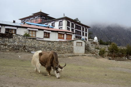 Yak near Tengboche buddhist monastery covered with the cloud,Everest region,Nepal photo