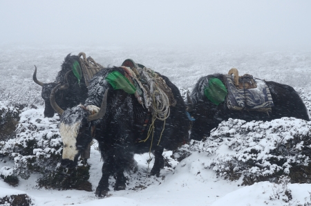strong base: Yak caravan going from Everest Base Camp in blizzard, Nepal, Himalayas ,Chomolungma region