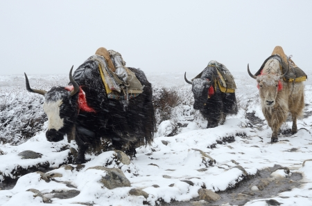 porter: Yak caravan going from Everest Base Camp in snowstorm, Nepal, Himalayas ,Chomolungma region