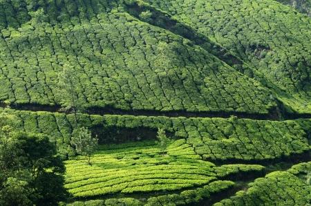 Beautiful Fresh Green Tea Gardens In Munnar Highland,Western.. Stock ...