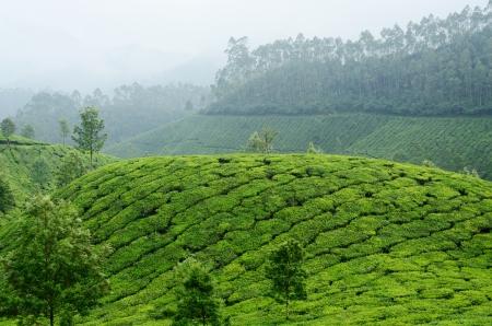 munnar: Green tea gardens in Munnar highland,Kerala,Western Ghats,India