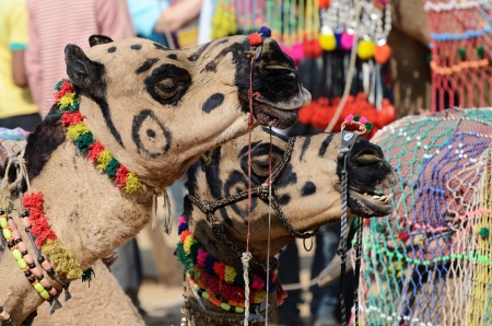 nomad: Two decorated tribal nomad camels at cattle festival in hindu holy town Pushkar,Rajasthan, India Stock Photo