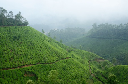 munnar: One of the most high altitude tea plantations in Munnar,India,Kerala state