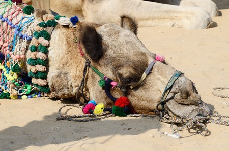 nomad: Decorated head of tribal nomad camel at cattle fair holiday in hindu holy town Pushkar,Rajasthan, India