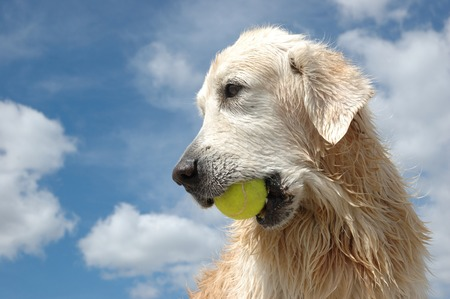 cynology: Portrait of wet golden retriever dog with yellow tennis ball at the blue sky