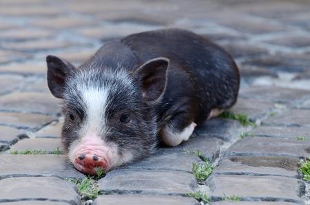 Image result for sad piglet