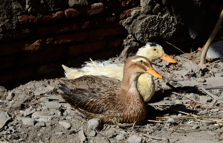 feathering: Two village ducks in old Tbilisi,Georgia