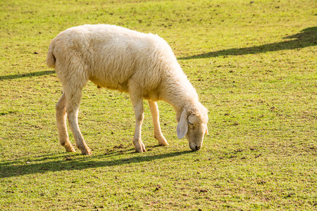 typically: The sheep is a quadrupedal, ruminant mammal typically kept as livestock.