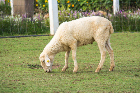 The sheep is a quadrupedal, ruminant mammal typically kept as livestock.