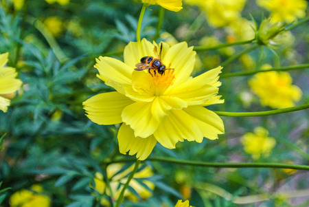 Cosmos is also known as Sulfur Cosmos and Yellow Cosmos. It is native to Mexico, Central America Stock Photo