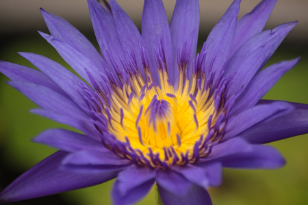 Lotus is a flower that familiar and favorable with Thai people from the past and a flower for Buddhism. Stock Photo