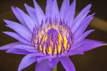 Lotus is a flower that familiar and favorable with Thai people from the past and a flower for Buddhism. Stock fotó