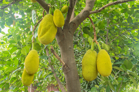 The jackfruit, jack tree, is a species of tree in the fig, mulberry, and breadfruit family native to South India. They suited to tropical lowlands, and its fruit is the largest tree-borne fruit.