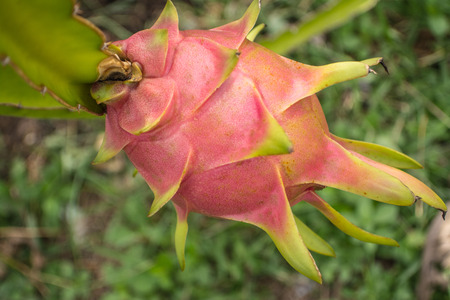 A pitaya or pitahaya is the fruit of several cactus species. Pitaya usually refers to fruit of the genus Stenocereus, while pitahaya or dragon fruit refers to fruit of the genus Hylocereus. Stock Photo