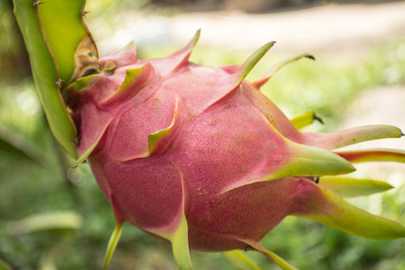 A pitaya or pitahaya is the fruit of several cactus species. Pitaya usually refers to fruit of the genus Stenocereus, while pitahaya or dragon fruit refers to fruit of the genus Hylocereus. Reklamní fotografie