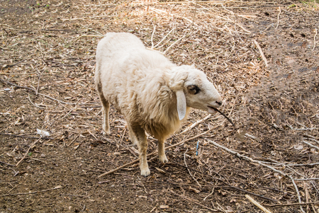 The sheep is a quadrupedal, ruminant mammal typically kept as livestock. An adult female sheep is referred to as an ewe, an intact male as a ram or occasionally a tup, a castrated male as a wether, and a younger sheep as a lamb