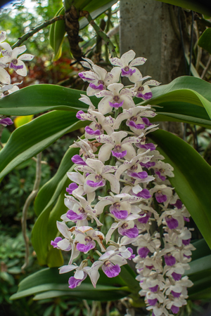 Beautiful flowers named Rhynchostylis gigantea one of orchid in the park within Ratchaburi province of Thailand