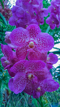 Beautiful orchid named Vandas family within the flower garden Ratchaburi Province of Thailand