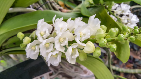 Beautiful orchid named Rhynchostylis gigantean within the flower garden Ratchaburi Province of Thailand.
