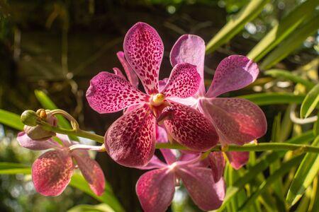 Bella orchidea rosa e bianca denominata famiglia Vanda all'interno del giardino fiorito nella provincia di Ratchaburi in Thailandia Archivio Fotografico