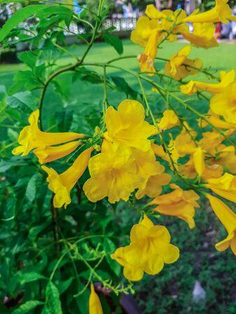 Beautiful yellow flower named Yellow elder, Trumpetbush or Trumpet flower within thepark in Ratchaburi Province of Thailand