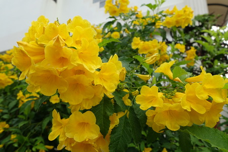lamiales: Yellow trumpet-flower